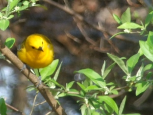 Prothonotary Warbler courtesy of Debbie Esquinazi of Park Slope