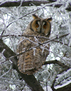 Long-eared Owl in the snow